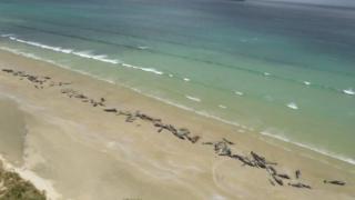 နယူးဇီလန်မှာ ဝေလငါးတွေ သောင်တင်လာတဲ့ ဖြစ်ရပ်မျိုးဟာ ဖြစ်လေ့ဖြစ်ထ ရှိပေမယ့် အကြောင်းရင်းကိုတော့ အတိအကျ မသိနိုင်