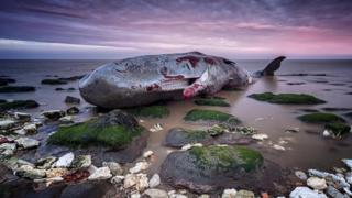 Whale carcass at Hunstanton beach