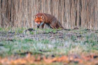 A fox at Farmoor nature reserve