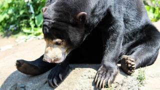 animals Mayan sun bear