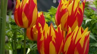 Tulips in the back garden in Carterton
