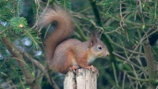 Squirrel in Aberdeenshire