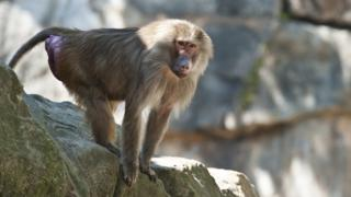 Baboon (file photo)