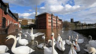 environment Swans gather on flooded riverside streets, following Storm Jorge, in Worcester