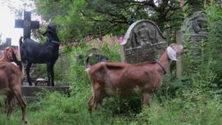 Goats clear overgrown weeds and grass at a cemetery in Blaenau Gwent
