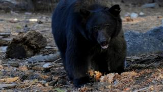 Woman killed in 'extremely rare' black bear attack in Canada