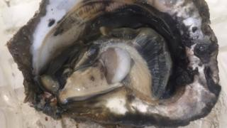 Oyster with larvae