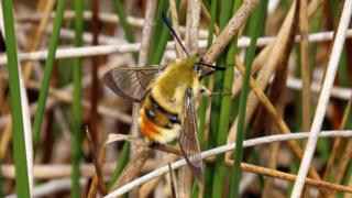 Rare narrow-bordered bee hawk-moth spotted at new sites