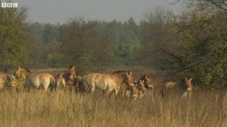 Коні Пржевальського вільно блукають Чорнобильською зоною відчуження