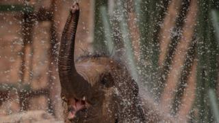 Elephant-lifts-trunk-in-water.