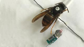 Asian hornet with tracking device