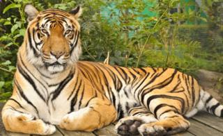 Rana the tiger