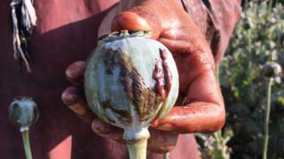 A farmer holding an opium poppy