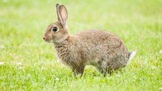 ニュージーランドでは、ウサギを農産物を荒らす有害鳥獣だと考える人もいる
