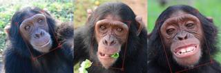 Chimpanzé Manno