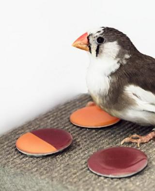 Zebra finch in colour perception experiment