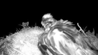 Pine marten and osprey EJ at nest