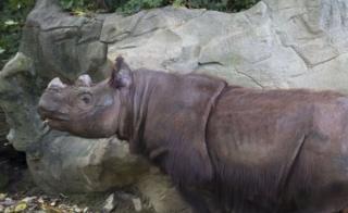 Harapan, a Sumatran Rhino, roams his enclosure on his last day of viewing at the Cincinnati Zoo and Botanical Gardens (29 Oct 2015)