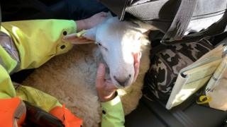A rescued sheep