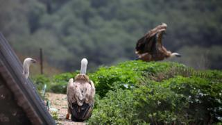 The griffon vultures in their aviary in Sardinia