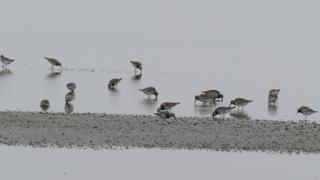 The endangered Great knot, in search of the small clams, North Korea