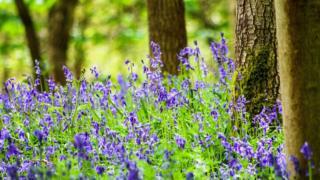 Bluebells in Bagley Woods