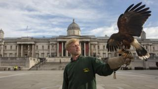 Matt Forward with his hawk in Trafalgar Square, 13 June 2020