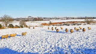 Sheep at Mountfield near Omagh, during the most recent snowfall a fortnight ago