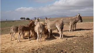 afrique du sud, ânes, trafic