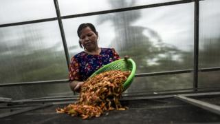 Inside a solar drier a member of Trapang Sangke community sorts shrimp