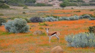 Çiçeklenen çölde geyik