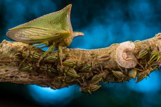 Alchisme treehopper and his nymphs