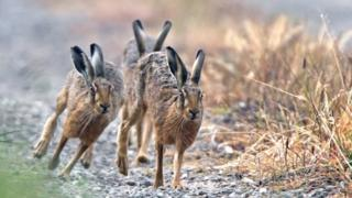 """A photo of hares titled """"The Chase"""" - voted third in Advanced Nature Project"""