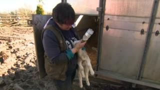Farm owner Tracy Middleton feeds an orphaned lamb