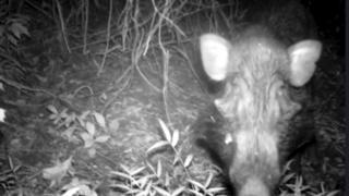 Javan warty pig captured on a camera trap