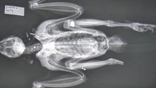 X-ray of falcon