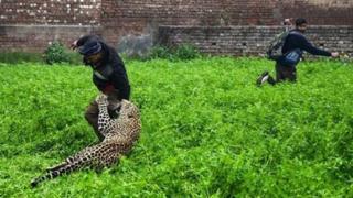Divlji leopard u nasilnom susretu sa lokalnim meštanima