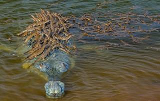 science Dhritiman Mukherjee image of a gharial croc