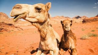 骆驼是标志性的生存专家