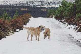 Brodie and Bunty the Border Terriers played in the snow at the Linn of Quoich.