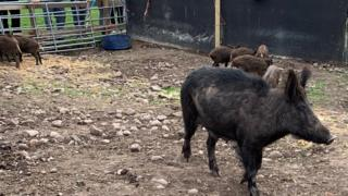 The boars in their new pen