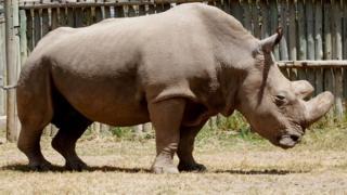 Huyu ni faru pekee wa kiume aina ya 'Northern Whire Rhino' aliyesalia ulimwenguni