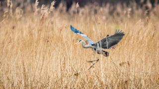 A grey heron comes into land at RSPB Otmoor