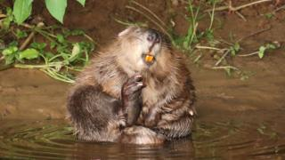 Beaver families win legal 'right to remain'on August 6, 2020 at 4:27 am