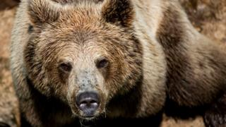 A brown bear at Rome zoo