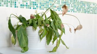 Don't let your lovely plants meet the same fate as this spathiphyllum (Peace Lily)