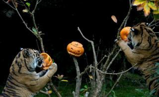 Tigers eat pumpkins.