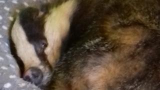 Badger asleep in cat bed