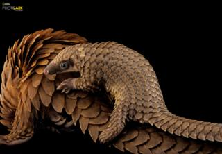 African White-Bellied Tree Pangolin (Phataginus tricuspis) Pangolin Conservation, St. Augustine, Florida