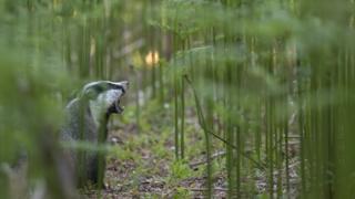 Elgin badger